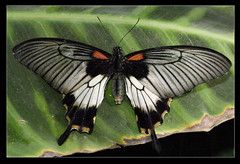 Great Yellow Mormon Swallowtail butterfly at Wisley (Papilio lowii) (Johan J.Ingles-Le Nobel) Tags: red butterfly insect wings wildlife lepidoptera papillon wisley swallowtail rhs royalhorticulturalsociety wisleyrhs greatyellowmormon papiliolowii johanjingleslenobel