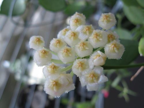 Hoya lacunosa snowcaps