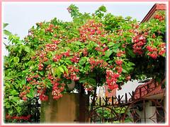 Quisqualis indica with double flowers (Rangoon Creeper, Burma Creeper, Drunken Sailor, Scarlet Ragoon, Chinese Honeysuckle)