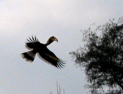 Great Hornbill01