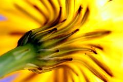 dandelion stalk (~Vicki S~) Tags: flowers plants plant flower macro petals weed tubes dandelion extension stalk