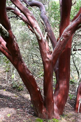arctostaphylos trunks