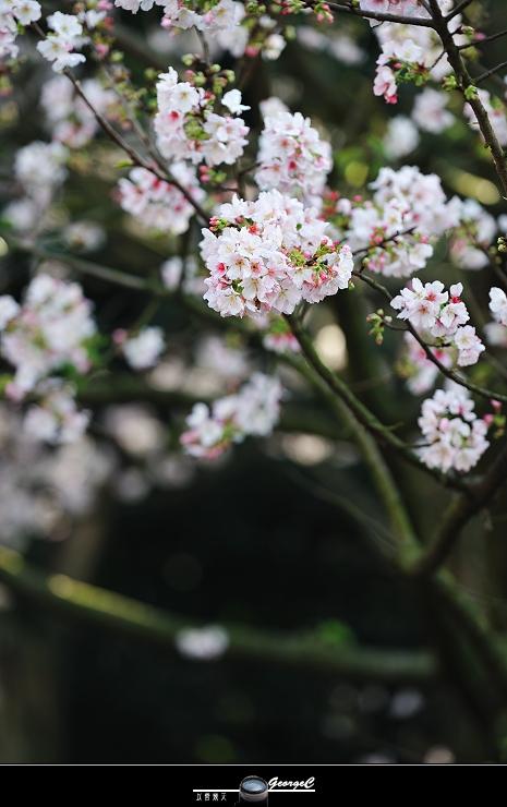 Sakura sunny 08