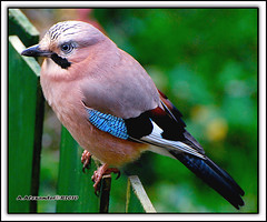 Eurasian Jay.(vlaamse Gaai)Take and give.
