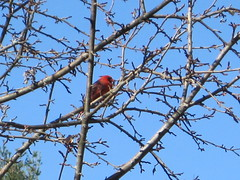 a cardinal spotted out front in one of our trees