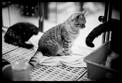 Quiet (Lefty Jor) Tags: leica light bw hk pet film shop night cat hongkong 50mm 1 dof bokeh tail voigtlander sit push 800 f11 ilford m6 nokton delta400 voigtlandernokton50mmf11