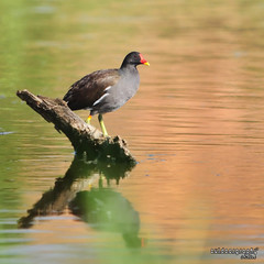 Common Moorhen (Sir Mart Outdoorgraphy) Tags: birds magazine education nikon photographer bokeh outdoor birding best malaysia penang indah birdwatching birder butterworth birdisland jacana byram unik nikonian d90 migratorybirds bairam menarik nikonuser jacanas nibongtebal jurugambar commonmoorhengallinulachloropus jakana penangflickr sigma150500 commonwaterhen pulauburung sirmart outdoorgraphy penangflickrgroup pulauburong