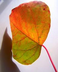 Omalanthus Populifolius (YAZMDG (15,000 images)) Tags: trees red plants tree nature forest flora artistic australia nsw euphorbiaceae hinterland rainbowregion goonengerry omalanthuspopulifolius nswrfp floraandfaunaofmullum yazminamicheledegaye northernriversspecies