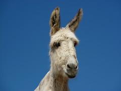 Equus asinus blanco