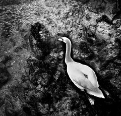 Clear waters (Sian Bowi) Tags: bw white swimming river mono swan stones pebbles clear waters sianbowi