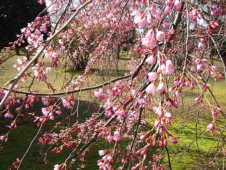 三永水源地 枝垂桜が満開に3