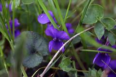 violette mauve