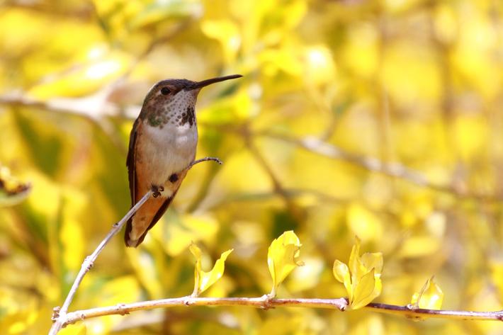 032910_hummingbirdPerched04