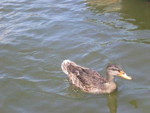 Duck, Duck DC!
