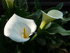 Calla Lily (michicat) Tags: california flowers flora callalily