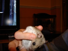 hamsters 0045347549415105779723 (Bryher Hill) Tags: hamsters