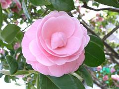Petal Pink . . .