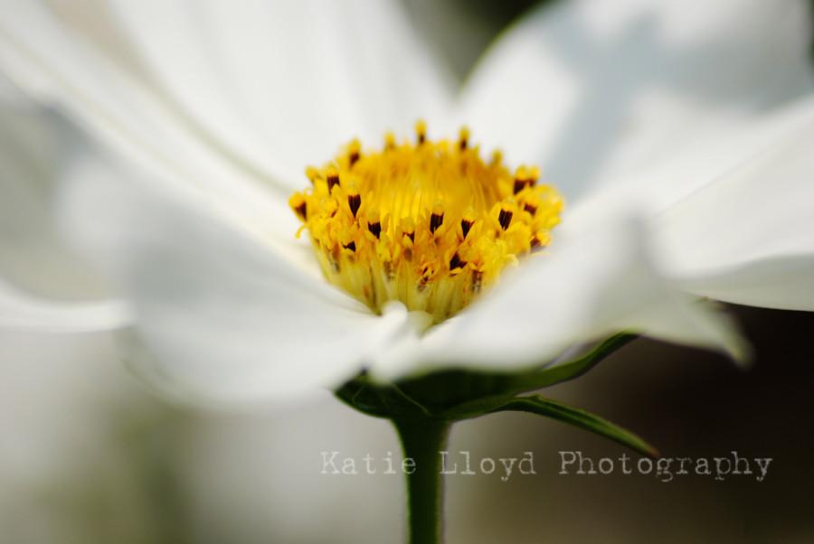 daisy---white