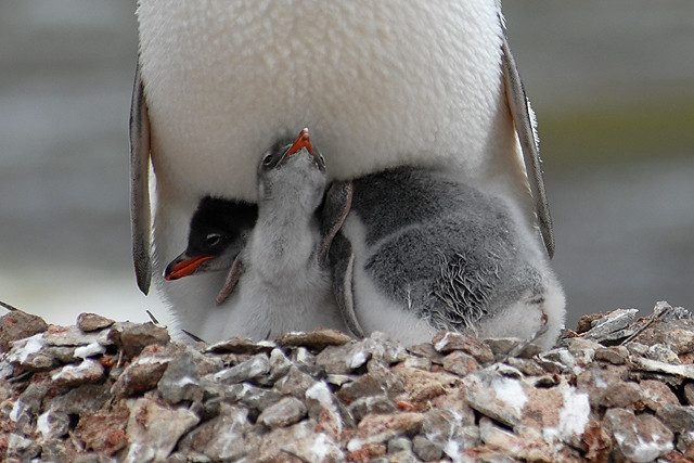 Gentoo penguin & chicks, Antarctic Peninsular