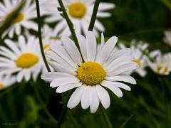 Daisy Spider-3 (oreofuzz) Tags: park flowers nature oregon daisies olympus salem e5 straubnaturepark