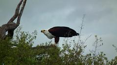 Savuti - Botswana - mars 2014 (43) (Valerie Hukalo) Tags: africa bird eagle wildlife safari botswana oiseau birdofprey afrique faune aigle africanfisheagle savuti linyanti oiseaudeproie faunesauvage wildernesssafari aiglepêcheur hukalo valériehukalo