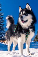Denzel the Malamute (Wolfhowl) Tags: carpathians fun winter cute kawaii україна карпати dragobrat alaskanmalamute ukraine драгобрат dog denzel mountains puppy snow malamute