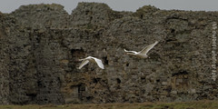 Swans in front of Camber Castle (ianbartlett) Tags: outdoor castle water camber swans lapwing greylag geese stonechat groins seedhead light