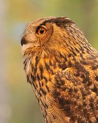 Eurasian Eagle Owl (NikonJim) Tags: bird medi