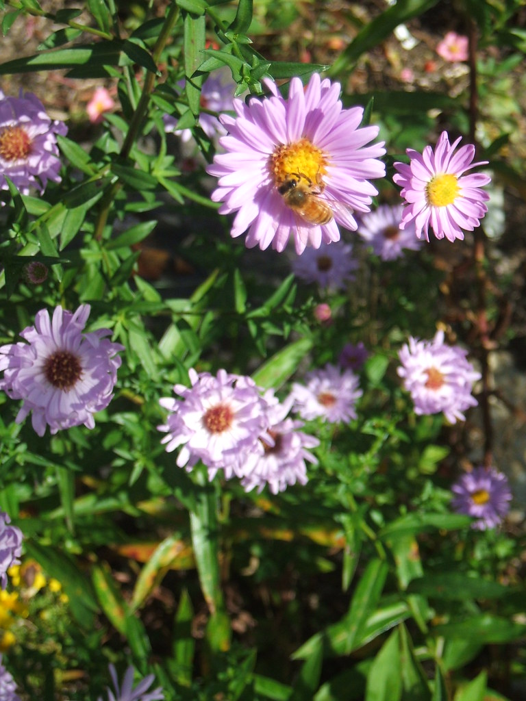 Asters in late September