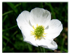 White wildflower ( Annieta  Off / On) Tags: italy white holiday flower color nature fleur june juni canon ilovenature vacances vakantie juin italia natuur powershot piemonte s2is fiori wildflower wit farbe colori bianco blanc canonpowershots2is ranunculaceae 2009 couleur allrightsreserved aosta blum itali bloem valledaosta valdaosta kleur alpineflower mountainflower aostavalley annieta wildebloem valledaosta usingthisphotowithoutpermissionisillegal jaskiertojadolistny