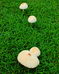 Mushrooms on the Meadow of Castillo San Felipe del Morro  -- Puerto Rico (Wei Zhang@Hudson) Tags: heritage spain oldsanjuan puertorico fort colonial sanjuan pirate nationalparks nationalhistoricsite zhangwei castillosanfelipedelmorro weizhang castillosancristobal zhangwei0119 weizhanghudson