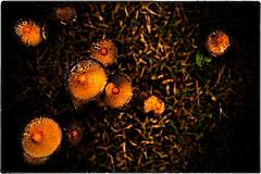 ... IMG_9131 (*melkor*) Tags: macro art mushroom field grass geotagged mushrooms colours country experiment naturallight minimal hills funghi conceptual fungo melkor trashbit onanovembersfield atransitionalnatureproject funghètti