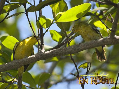 Sungei Buloh Olive-Backed Sunbird