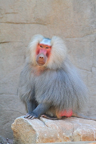 Kenny, Male Hamadryas Baboon with Canon 7D