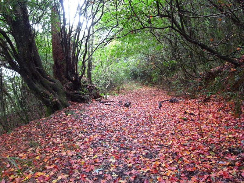 大-730林道巨木營地