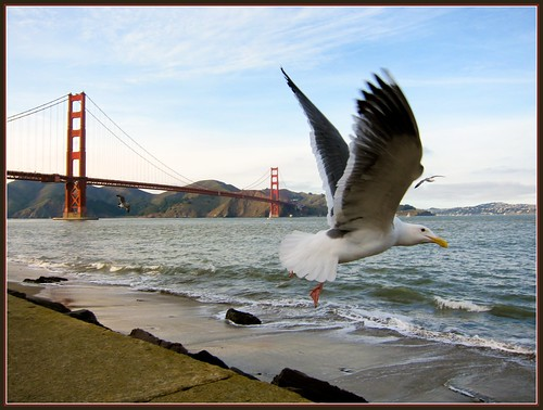 20100102seagull and golden gate bridge0990