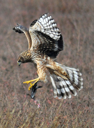 Norther Harrier w/prey