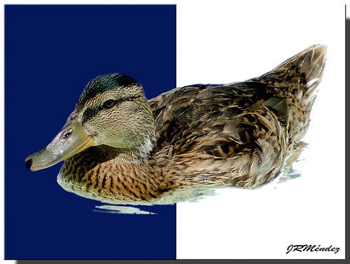Duck (contraste)