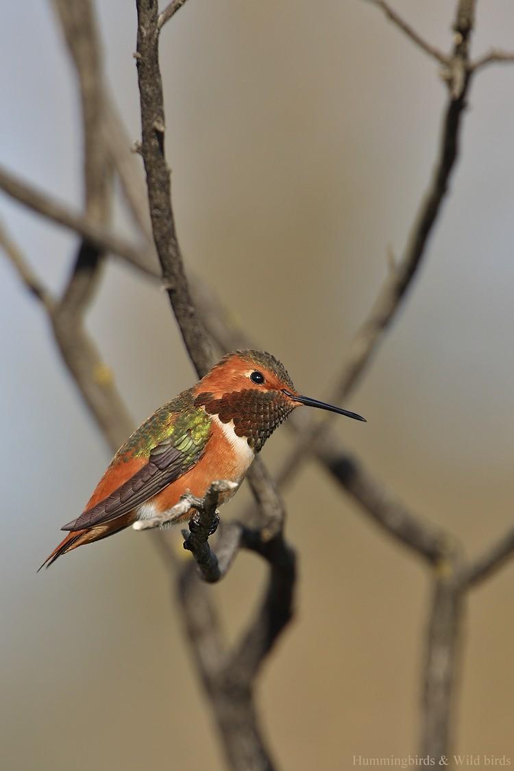Allen's Hummingbird 01101-102