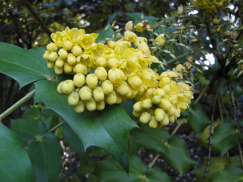 Mahonia flowers close up