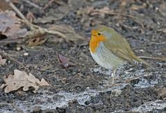Robin (adam.hawkins27) Tags: london birds wildlife rbin leevalley hackneymarsh