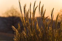 Golden Light II (jimservies | photography) Tags: sunrise golden tn knoxville tennessee sb600 golfcourse pampasgrass knoxvilletn goldenlight d80 sb900 archivedoldflickr