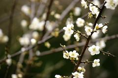 Plum (ddsnet) Tags: plant flower sony plum  900      mywinners   nationaltsinghuauniversity 900