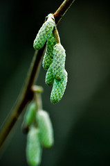 Hope in Green... (Chris H#) Tags: winter cold green northamptonshire changing buds chilly growing s3000 catkins newlife changingseasons sywellcountrypark nikond5000 hopeingreen springmaybeonitsway wintersstillhere