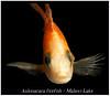 Aulonacara Firefish_800_02 (Bruno Cortada) Tags: malawi marino mbunas cíclidos sudafricanos tanganyica