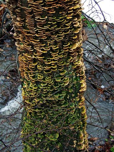 fungus birch