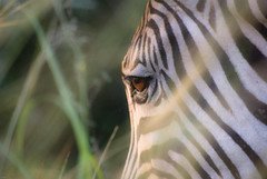 _IGP1078 (orang_asli) Tags: africa nature animals sunrise southafrica mammal nationalpark champs zebra fields lieux leverdesoleil afrique mammifère période aficionados faune hluhluwe bushveld naturel zèbre afriquedusud savane parcnational géographie zbre mammifre pžriode gžographie