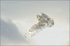 Owl (Snowy) - 0793 (Earl Reinink) Tags: flight raptor snowyowl snowyowlinflight earlreinink wwwipaintca wwwearlreinincom