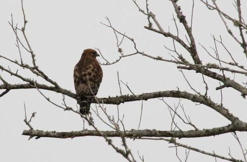 Red-shouldered Hawk - 2/10/2010