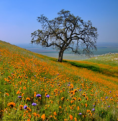 (DM Weber) Tags: california oaktree gmt bluedicks coth idream fiddlenecks dragondaggerphoto dragondaggeraward psa148 yourwonderland flickrvault wonderworldgallery dmweber